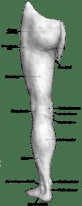 Muscoli posteriori arto inferiore