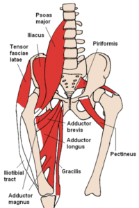 400px-Anterior_Hip_Muscles_2
