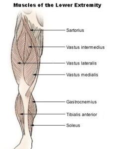 Flessori dell'anca