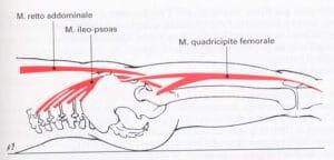 Muscoli flessori dell'anca