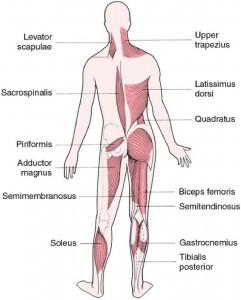 Muscoli posteriori del corpo