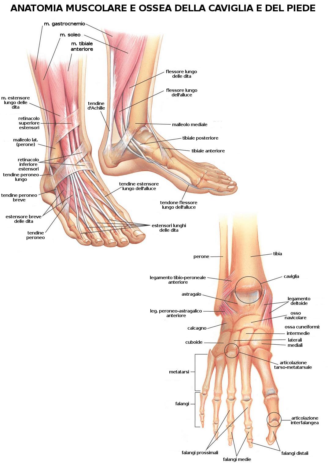 Piede e Postura 7